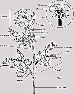 Diagram of a rose stem basic guide wiring diagram general special adaptations all about roses rh allaboutroses2013 weebly com dicot stem diagram flower stem diagram ccuart Choice Image